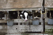 A dairy, Central Valley, Tulare and Kern Counties, California, produce milk in industrial conditions. Young dairy cows live in cramped stalls in rundown sheds that are so narrow they can hardly turn a... - David Bacon - 01-02-2010