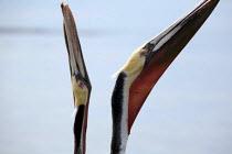 Brown pelicans in their mating plumage in the Laguna de San Ignacio, a marine ecoreserve for migratory birds, El Vizcano Biosphere Reserve, Mexico - David Bacon - 11-02-2011