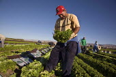 Farmworkers harvest green leaf lettuces for Pam PaK in the Coachella Valley, California. They are are migrant Purepechans from Mexico - David Bacon - 2010,2010s,agricultural,agriculture,America,American,americans,Amerindian,Amerindians,BAME,BAMEs,BME,bmes,by hand,capitalism,capitalist,casual,Coachella,communities,community,crop,crops,cut,cutter,cut