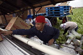 Farmworkers cut and pack head lettuce on a rig for Ocean Mist Farm in Winterhaven, just north of the border between Arizona and Mexico. Ocean Mist, grow lettuce in California (Castroville, Huron, Oxna... - David Bacon - 04-12-2010