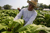 North Carolina. USA. A farmworker from Honduras, trims the tops of tobacco plants so that the leaves will grow larger. - David Bacon - 2010s,2011,agricultural,agriculture,America,American,americans,BAME,BAMEs,BME,bmes,casual workers,Central,crop,crops,cut,cutting,Diaspora,diversity,EARNINGS,employee,employees,Employment,EQUALITY,ethn