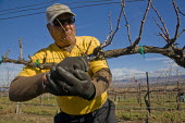 Farm workers pruning grapevines that grow wine grapes in a Salinas Valley vineyard. The crew is made up of migrant workers from Mexico. - David Bacon - 2010s,2012,agricultural,agriculture,America,American,americans,Amerindian,Amerindians,capitalism,capitalist,crew,crop,crops,cultivate,cut,cutting,Diaspora,EARNINGS,EBF,Economic,Economy,employee,employ