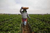 California- A gang of Oaxacan farm workers pick strawberries in a field near Santa Maria. Many members of the crew are Mixteco migrants from San Vincente, a town in Oaxaca, Mexico. The earth in the be... - David Bacon - 29-03-2012