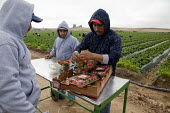 California- A gang of Oaxacan farm workers pick strawberries in a field near Santa Maria. Many members of the crew are Mixteco migrants from San Vincente, a town in Oaxaca, Mexico. Workers take the bo... - David Bacon - 29-03-2012