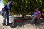 Migrant Mexican farm workers picking blueberries in a field near Dinuba, San Joaquin Valley, California, USA Workers are paid by 8 for each 12 pounds they pick. The weight of the bucket is checked and... - David Bacon - 24-05-2012
