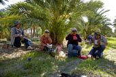 A crew of immigrant Mexican farm workers take a break from thinning dates on palm trees in a grove in Thermal, Coachella Valley, California - David Bacon - (Phoenix diactylifera), American,2010s,2012,agricultural,agriculture,America,American,americans,BAME,BAMEs,BME,bmes,break,break time,California,capitalism,capitalist,casual workers,crew,crop,crops,cul