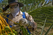 A crew of immigrant Mexican farm workers thinning medjool dates on palm trees in a grove in Thermal, Coachella Valley, in California. They work on a metal platform, lifted into the tree by a cherry pi... - David Bacon - 30-05-2012