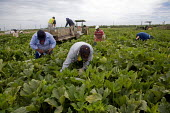 A crew of farm workers picking acorn squash in a field just outside of Fresno, in the San Joaquin Valley. The workers are all migrants from Mexico. California USA - David Bacon - 19-07-2012