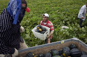 A crew of farm workers picking acorn squash in a field just outside of Fresno, in the San Joaquin Valley. The workers are all migrants from Mexico. California USA - David Bacon - American,2010s,2012,acorn,agricultural,agriculture,America,American,americans,BAME,BAMEs,bandanna,bandannas,Black,BME,bmes,box,boxes,California,capitalism,capitalist,carries,carry,carrying,casual work