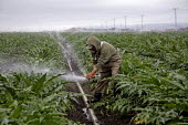 California. An irrigator working a large artichoke farm. He maintains the pipes and sprinklers that water the artichokes. He is an immigrant from Michoacan. - David Bacon - American,2010s,2013,agricultural,agriculture,America,American,americans,artichoke,BAME,BAMEs,Black,BME,bmes,by hand,capitalism,capitalist,casual workers,crop,crops,Diaspora,diversity,EBF,Economic,Econ