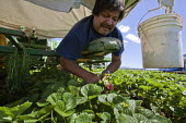 Macdoel, California: Migrant Mexican farmworkers pick the flowers, fruit and runners off strawberry plants in a field belonging to Lassen Canyon Nursery. Workers lie on padded benches in a machine pul... - David Bacon - American,2010s,2013,agricultural,agriculture,America,American,americans,BAME,BAMEs,berry,BME,bmes,by hand,Canyon,capitalism,capitalist,casual workers,crew,crop,crops,Diaspora,diversity,EARNINGS,EBF,Ec