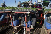 Santa Maria, California, USA. Migrant farmworkers from Mexico planting young seedlings of broccoli plants from a planting machine pulled through a field by a tractor - David Bacon - 2010s,2013,agricultural,agriculture,America,American,americans,BAME,BAMEs,BME,bmes,broccoli,California,capitalism,capitalist,casual workers,Diaspora,diversity,EARNINGS,EBF,Economic,Economy,employee,em