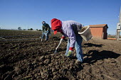 Santa Maria, California, USA: Migrant farmworkers from Mexico plant young seedlings of broccoli plants. - David Bacon - American,2010s,2013,agricultural,agriculture,America,American,americans,BAME,BAMEs,bandanna,BME,bmes,broccoli,by hand,California,capitalism,capitalist,casual workers,Diaspora,diversity,EARNINGS,EBF,Ec