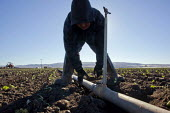 Santa Maria, California, USA: A migrant farmworker from Mexico sets out pipes and sprayers to irrigate a field of young seedlings of broccoli plants. - David Bacon - American,2010s,2013,agricultural,agriculture,America,American,americans,BAME,BAMEs,BME,bmes,broccoli,by hand,California,capitalism,capitalist,casual workers,Diaspora,diversity,EARNINGS,EBF,Economic,Ec