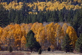 Leaves turn color on Aspens and other trees in the Sierra Nevada mountains. - David Bacon - 14-10-2013