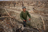 California: A crew of farm workers pruning vines that grow grapes for raisins, in a field near Madera on the ranch of Kenneth Basila. The crew is made up of migrants from Oaxaca, Mexico. - David Bacon - American,2010s,2014,agricultural,agriculture,America,American,americans,Amerindian,Amerindians,BAME,BAMEs,BME,bmes,by hand,capitalism,capitalist,casual workers,crew,cultivate,cut,cutter,cutters,cuttin