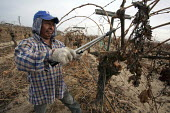 California: A crew of farm workers pruning vines that grow grapes for raisins, in a field near Madera on the ranch of Kenneth Basila. - David Bacon - American,2010s,2014,African American,African Americans,agricultural,agriculture,America,American,americans,Amerindian,Amerindians,BAME,BAMEs,black,BME,bmes,by hand,capitalism,capitalist,casual workers