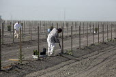 California - A crew of farm workers set posts, dig holes and plant young vines. - David Bacon - 10-06-2014