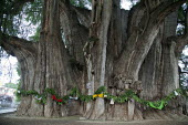 SANTA MARIA DEL TULE, MEXICO The ancient Montezuma Cypress tree in the main square in Santa Maria del Tule, Oaxaca, Mexico. The tree is estimated to be between 1,200 and 3,000 years old. It is one of... - David Bacon - &,2010s,2014,ACE,americas,Amerindian,Amerindians,ancient,Arbol,belief,conviction,culture,cypress,del,El,faith,GOD,Latin America,LIFE,Mexican,Mexicans,Mexico,Mixtec,mucronatum,Oaxaca,Oaxacan,Oaxacans,o