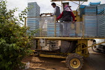 Migrant workers sorting fruit on a harvestor picking raspberries mechanically, Lynden, Washington USA - David Bacon - 12-07-2015