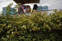Teenagers sorting fruit on a harvestor picking raspberries mechanically, Lynden, Washington USA - David Bacon - 12-07-2015