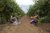 Teenagers eat lunch, sorting fruit on a harvestor picking raspberries mechanically, Lynden, Washington USA - David Bacon - 12-07-2015
