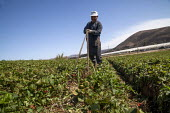California, migrant farmworkers cleaning plastic drip irrigation hoses in a strawberry field - David Bacon - American,2010s,2015,agricultural,agriculture,America,American,americans,BAME,BAMEs,BME,bmes,by hand,California,capitalism,capitalist,casual workers,cleaning,cleansing,crop,crops,Diaspora,diversity,EAR