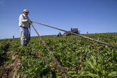 California, migrant farmworkers cleaning plastic drip irrigation hoses in a strawberry field - David Bacon - 04-10-2015