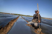 California, migrant farmworkers trimming rows of raised strawberry beds covered with black plastic prior to planting. - David Bacon - 04-10-2015