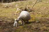 Sheep with newborn Lamb - Duncan Phillips - 01-04-2007