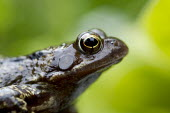 Common Frog in a garden. - Duncan Phillips - 14-06-2007