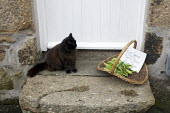 Home grown vegetables for sale from the garden, runner beans and a cat on the doorstep of a cottage, Cornwall. - Duncan Phillips - 2010s,2011,animal,animals,buy,buyer,buyers,buying,cat,cats,commodities,commodity,cottage,COTTAGES,domestic,doorstep,EBF,Economic,Economy,feline,food,FOODS,garden,GARDENS,goods,grown,home,house,houses,