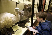 Child drawing the now extinct Mauritius dodo, Natural History Museum , Tring - Duncan Phillips - 12-04-2008