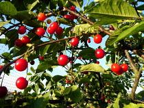 Cherrys on tree - Duncan Phillips - 14-07-2005