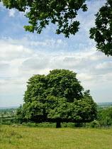 Oak Tree on Part of the Ridgeway long distance footpath, Chiltern hills - Duncan Phillips - 23-06-2005