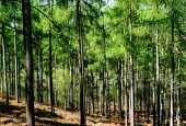 Pine Trees Leigh Hill Surrey. - Duncan Phillips - 17-04-2003