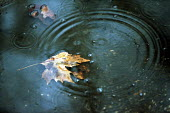 Autumn leaf in puddle with raindrops falling. - Duncan Phillips - 18-11-2002