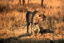 Cheetah in the wild, Mana Pools, Zimbabwe - Duncan Phillips - 1990s,1997,africa,animal,animals,big,cat,cheetah,conservation,country,countryside,eni environmental issue,environment,National Park,outdoors,outside,RURAL,safari,wildlife,zimbabwe,Zimbabwean,Zimbabwea