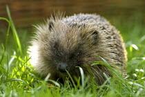 Hedgehog, erinaceus europaeus, nocturnal mammal widespread in uk. At home in urban settings - Duncan Phillips - 10-04-2005
