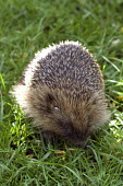 Hedgehog, erinaceus europaeus, nocturnal mammal widespread in uk. At home in urban settings - Duncan Phillips - 10-04-2005