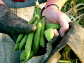 Freshly picked broad beans at an allotment - Duncan Phillips - 18-06-2005