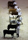 Bullocks at the Smithfield Show, London - Duncan Phillips - 06-03-2003
