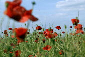Field full of poppies, Warwickshire. - Emilio Villano-Harris - 13-06-2003