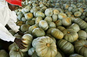 Weipe, South Africa. A Zimbabwean woman working in a farms picks up a pumpkin for packing. - Felipe Trueba - 2000s,2007,african,africans,AGRICULTURAL,agriculture,by hand,capitalism,capitalist,crop,crops,Diaspora,EARNINGS,EBF economy,EQUALITY,farm,farm worker,farm workers,farmed,farmhand,farmhands,farming,far