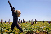 Weipe, South Africa. Zimbabweans working on a farm picking pumpkins. - Felipe Trueba - 2000s,2007,african,africans,agricultural,agriculture,by hand,capitalism,capitalist,crop,crops,Diaspora,EARNINGS,EBF,EBF economy,Economic,Economy,employee,employees,Employment,EQUALITY,farm,Farm Worker