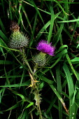 The thistle is known all over the world as the emblem of Scotland. - Gerry McCann - 2000s,2002,ACE,culture,Emblem,ENI environmental issues,flower,flowering,flowers,icon,iconic,iconography,nature,plant,plants,POL politics,Scotland,Scottish,Thistle,wild