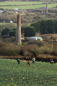 Daffodils pickers near the village of Brae near Camborne in Cornwall. Local pickers are joined by Polish and Lithuanian labourers and receive 8p per bunch which goes down to 6p when the season picks u... - Geoff Crawford - 19-01-2006