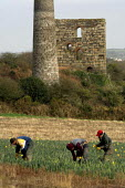Daffodils pickers near the village of Brae near Camborne in Cornwall. Local pickers are joined by Polish and Lithuanian labourers and receive 8p per bunch which goes down to 6p when the season picks u... - Geoff Crawford - 2000s,2006,AGRICULTURAL,agriculture,Brae,bunch of,by hand,Camborne,capitalism,capitalist,casual,collieries,colliery,Cornish,Cornwall,cut,cutting,daffodil,daffodils,derelict,DERELICTION,Diaspora,EARNIN