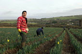 Paulo Nunes a picks daffodils near the village of Brae near Camborne in Cornwall. Local pickers are joined by Polish and Lithuanian labourers and receive 8p per bunch which goes down to 6p when the se... - Geoff Crawford - 2000s,2006,AGRICULTURAL,agriculture,Brae,bunch of,by hand,Camborne,capitalism,capitalist,casual,collieries,colliery,Cornish,Cornwall,cut,cutting,daffodil,daffodils,Diaspora,EARNINGS,eastern,EBF Econom