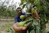 Farmworker Jan Skippers inspects young pears at Thandi fruit farm and winery which specialises in fairtrade produce. South Africa - Geoff Crawford - 20-11-2005
